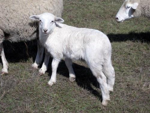 Lamb looking