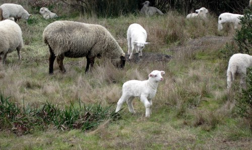 Lamb on the hillside