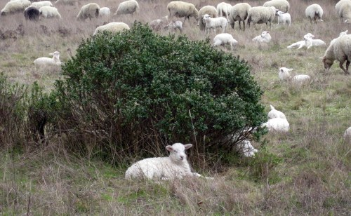 Lamb by bush