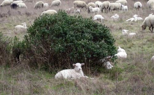 Lamb by bush