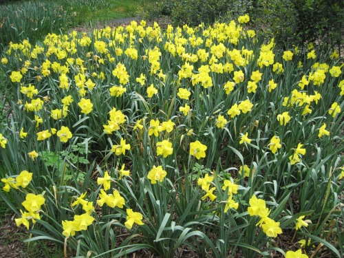 Daffodils, Filoli