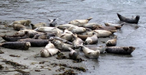 Seals at Sea Ranch