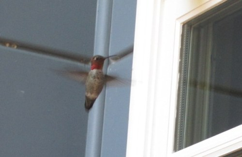 Red Throat Hover