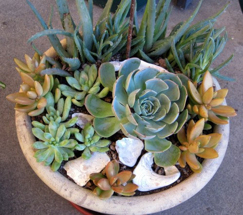Succulents with abalone shell
