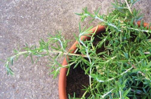 Healthy Rosemary