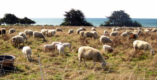 Sea Ranch Sheep by the sea