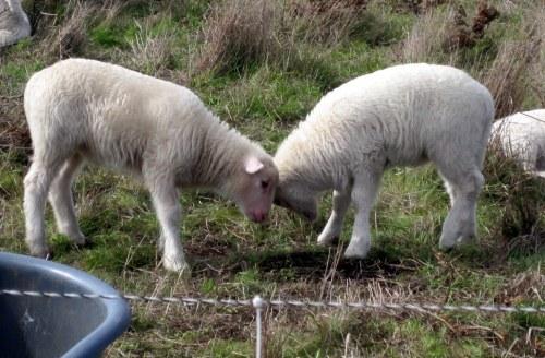 Lambs butting heads