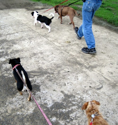 4 dogs on a walk