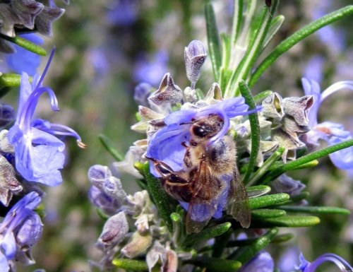 Bee in Rosemary Blossom