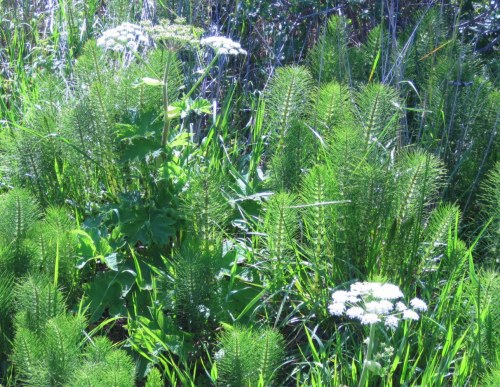 Cow Parsnip and Horsetail Fern