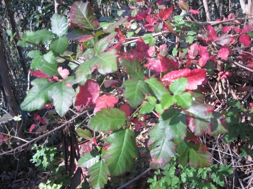 Red and Green Poison Oak