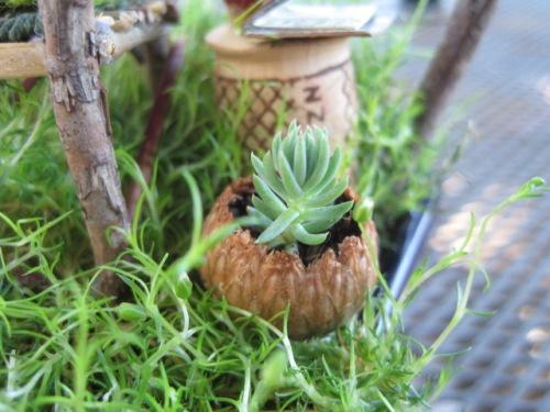 Succulent in Acorn Pot