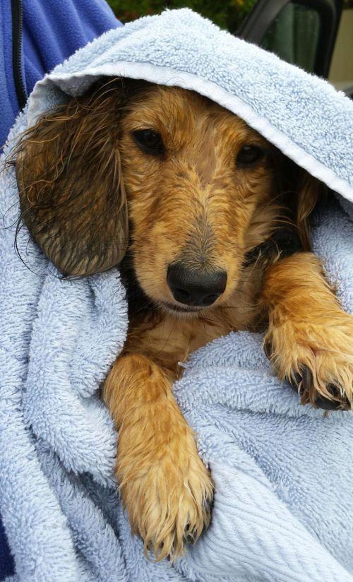 wet-puppy